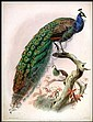 A Monograph of the Phasianidae, or Family of the Pheasants
