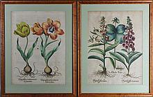 BASILIUS BESLER (1561-1629) HERBA PARIS AND TULIPA GLOBOSA SERVOTINA AND TULIPA GLOBOSA FEROTINA Hand colored engraving: 20 x 14 3/4...
