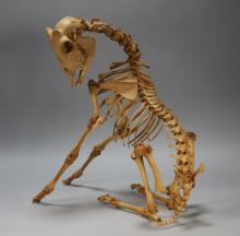 North American Baby Goat Articulated Skeleton