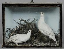 A preserved pair of ptarmigan Naturalistically mo