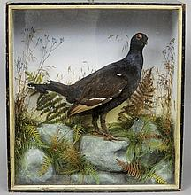 A taxidermy specimen of a preserved male black gro