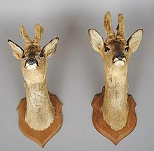 A taxidermy specimen of a pair of preserved and mo