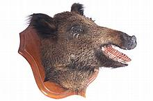 Early twentieth-century mounted boar's head