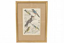 Eighteenth-century ornithological hand-coloured print