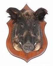 Stuffed boars head mounted on a wooden shield