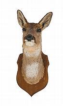 Mounted deer's head trophy