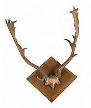 Mounted deer antlers