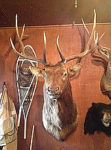 Elk 5x6 Mature Bull Mount