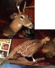 Fully Body Pheasant Mount and Deer Mount