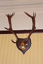 Antique nine point antlers with skull cap, mounted