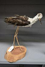 Antique Taxidermy black winged Stilt / Stork