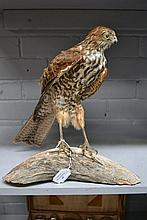 Antique Taxidermy large European Hawk specimen