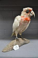 Antique long beak Corella specimen mounted on a