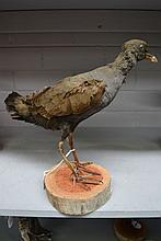 Antique Taxidermy hen specimen mounted on log,