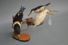 Group of three taxidermy Kingfishers mounted to a