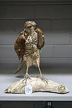 Antique European sparrow hawk specimen mounted on