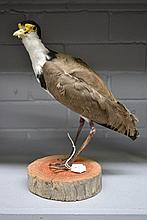 Antique Taxidermy plover specimen mounted on log,