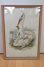 John Gould (1804-1881) & Henry Richter (1821-1902) Ciconia Alba, coloured lithograph, approx 56 x 37.5 cm