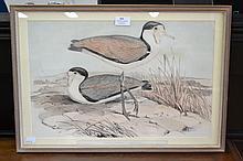John Gould (1804-1881) & Henry Richter (1821-1902) Lobivanellus Lobatus, hand coloured Lithograph, circa 1848-60, approx 31 x 48 cm