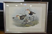 John Gould (1804-1881) & Henry Richter (1821-1902) Parra Gallinacea Temm, Pl Col 464 Traite d'Orn page 539, hand coloured lithograph, approx 34 x cm x 51 cm