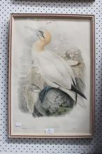 J Wolf & Henry Richter (1821-1902) Sula Bassana, hand coloured lithograph, approx 55 x 37 cm