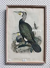 John Gould (1804-1881) & Henry Richter (1821-1902) Phalacrocorax Carbo, coloured lithograph, circa 1848-60, approx 55 x 37 cm