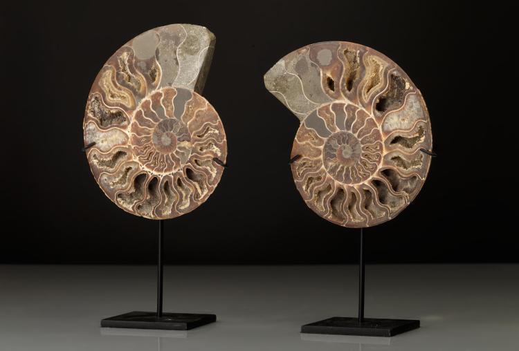 Paire de tranches d'ammonite fossilisée.