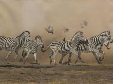 "Kim Donaldson (SA, born 1952) Pastel, ""Zebra - Waterhole Nerves"", Signed Titled Verso, 75 x 108"