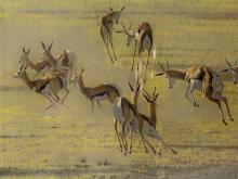 Kim Donaldson (SA, born 1952) Pastel, Springbok, Signed, 74 x 218