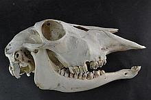 (Natural History) Skull