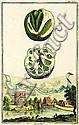 Johann Christoph Volckamer (Germany, 1644 - 1720), Johann Christoph Volckamer, Click for value