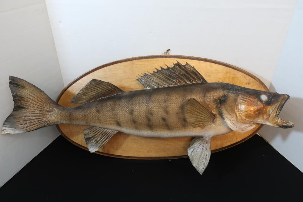 VINTAGE 1984 WALLEYE FISH MOUNT ON WOOD