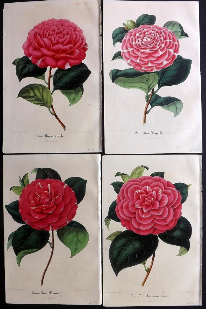Original Antique Botanical Color Chromolithographs By G Severeyns From voorkomende in de Nederlandsche tuinen Aucuba Japonica