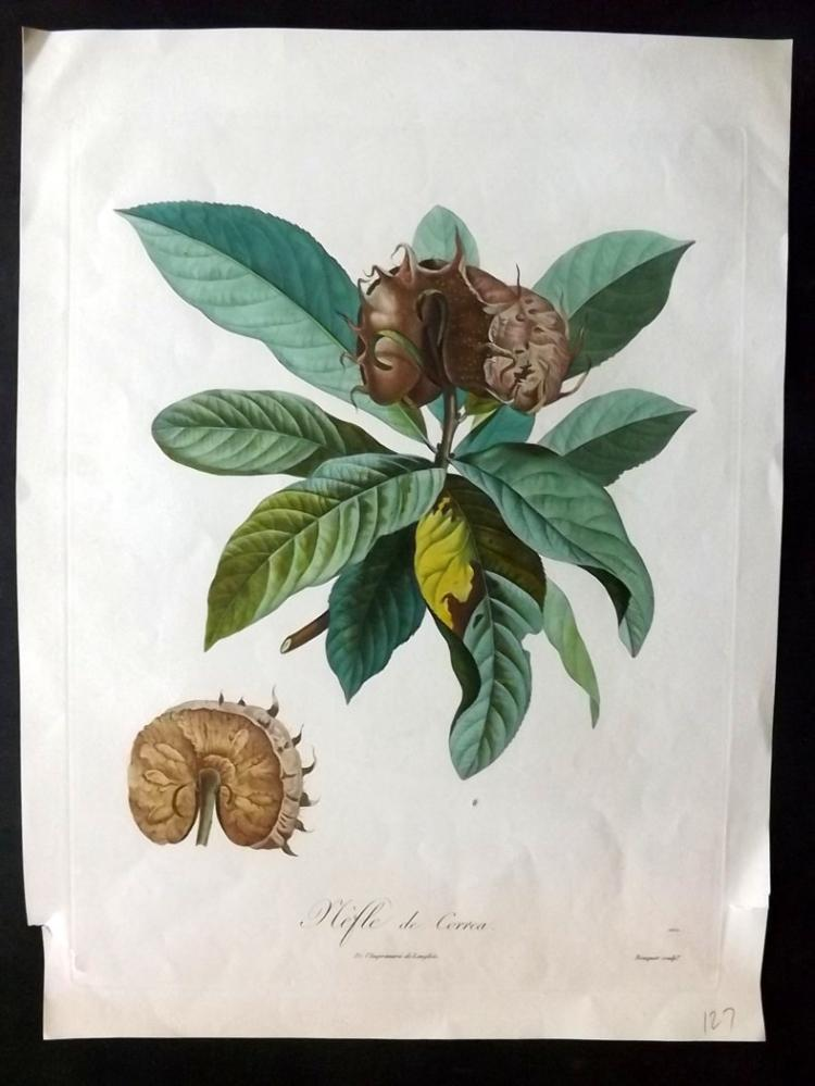 Poiteau, Pierre-Antoine 1846 Hand Coloured Fruit Print. Nefle de Correa