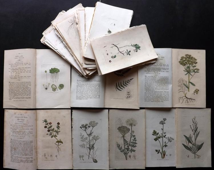 Sowerby, James C1800 Lot of 100 Hand Coloured Botanical Prints (Incl Ferns)