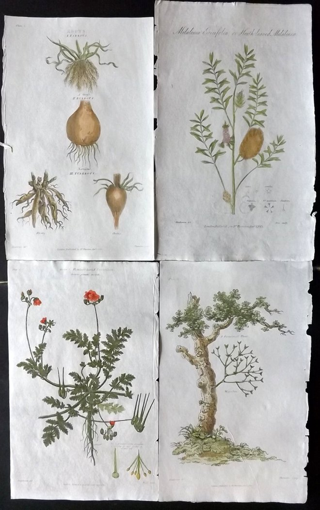 Thornton, Dr. Robert John 1812 Group of 6 Hand Coloured Botanical Prints