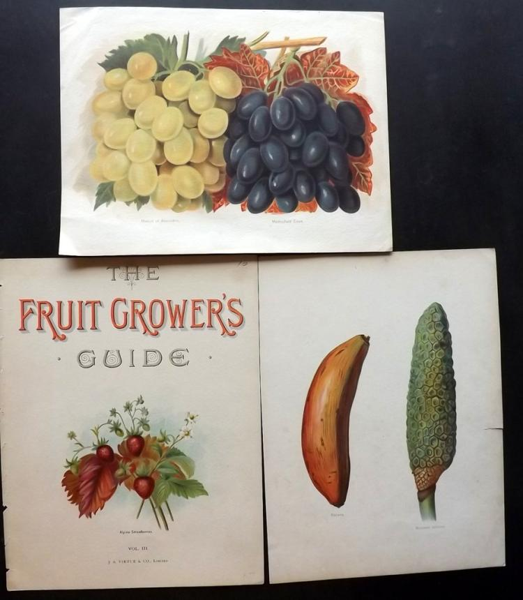 Wright, John 1894 Pair of Fruit Prints, plus Illus. Title Page from the Fruit Grower's Guide