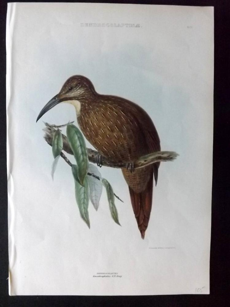 Gray, George Edward 1849 Hand Coloured Bird Print of a Strong-billed Woodcreeper 43