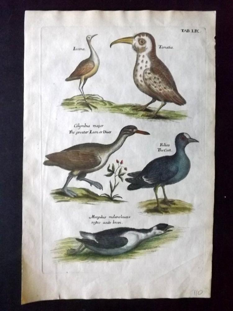 Willughby, Francis 1678 Hand Coloured Bird Print. Jacana, Puffbird, Coot etc