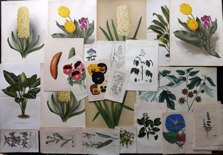 Botanical C1790-1900 Lot of 26 Botanical Prints
