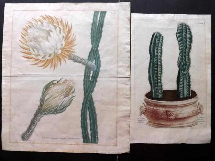 Cactus Cacti - Weinmann, Johann Wilhelm C1740 Pair of Hand Coloured Botanical Prints