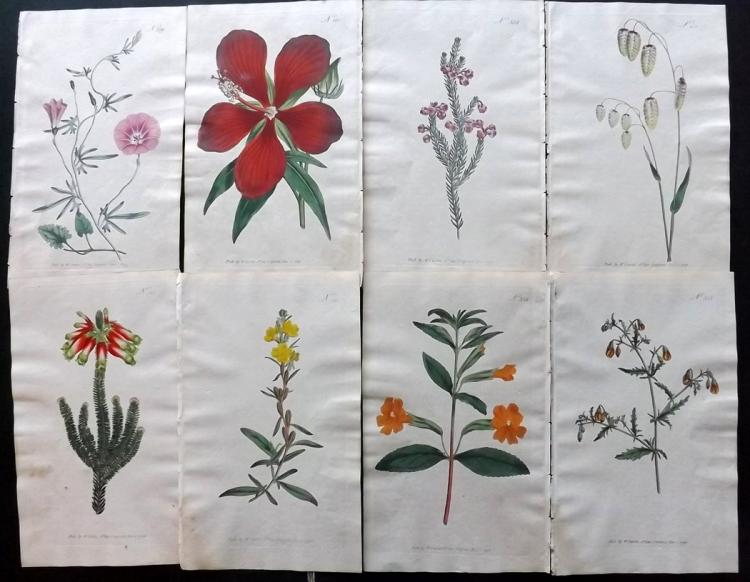 Curtis, William 1795-96 Lot of 9 Hand Coloured Botanical Prints Incl Superb Hibiscus 360