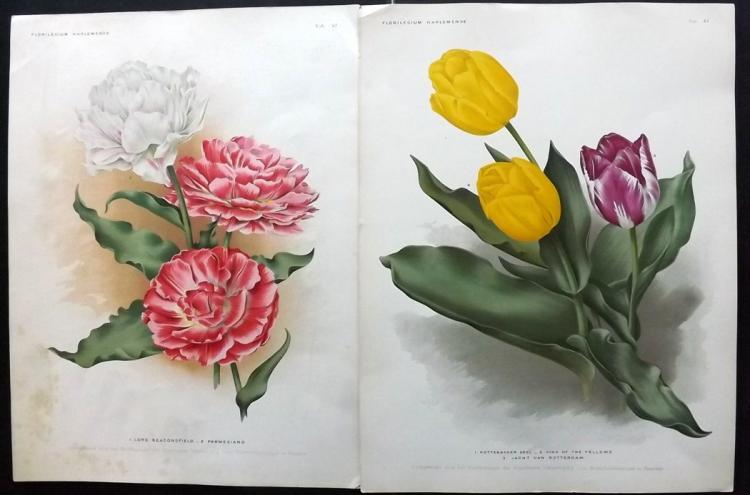 Florilegium Harlemense 1901 Group of 4 Botanical Prints of Tulips & Hyacinths
