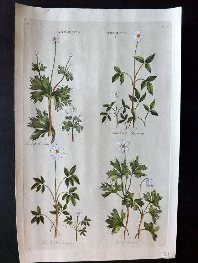 Hill, John C1760 Hand Coloured Botanical Print of Anemone's from the Vegetable System