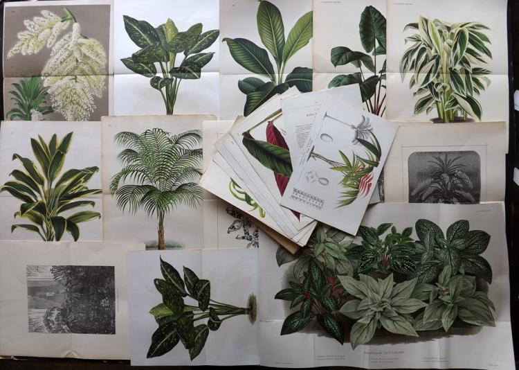 Linden, Jean Jules C1880-90 Lot of 25 Botanical Prints from L'Illustration Horticole