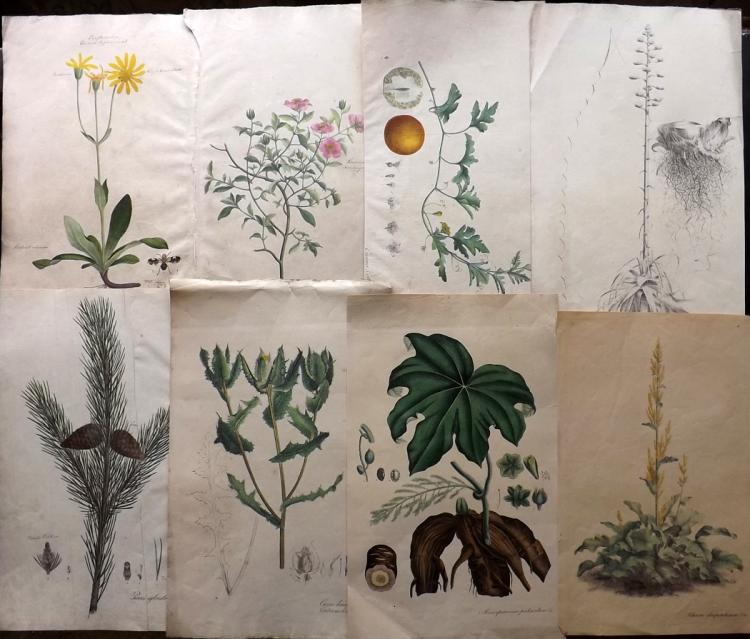 Nees von Esenbeck, Christian C1830 Lot of 8 Large Hand Coloured Botanical Prints