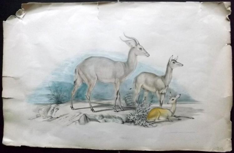 Waterhouse Hawkins, Benjamin 1846 Rare Large Hand Coloued Lithograph of an Antelope
