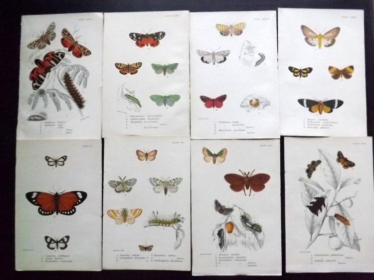 Butterflies & Moths 1890's Lot of 12 Prints by Kirby/Allen
