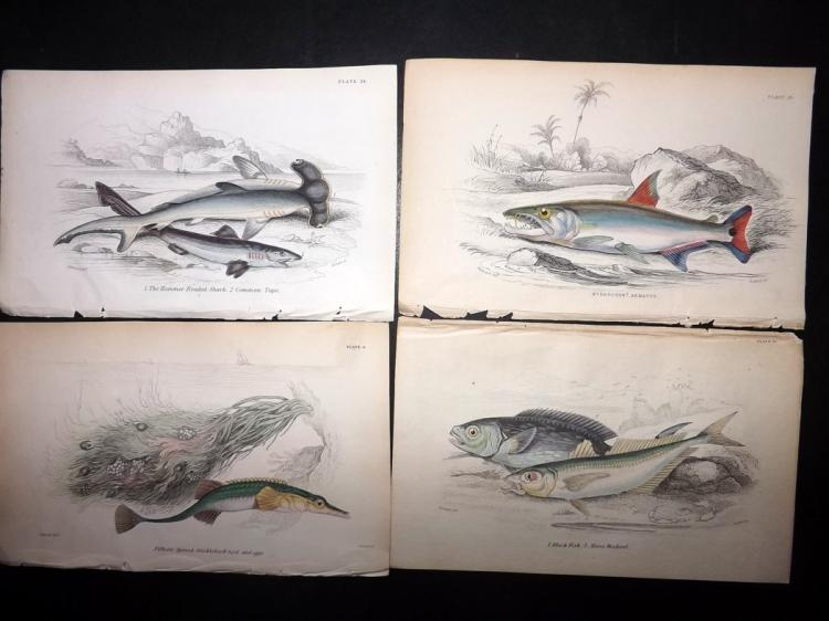 Fish & Sharks 1830's Lot of 13 Hand Coloured Prints by Jardine & Cuvier