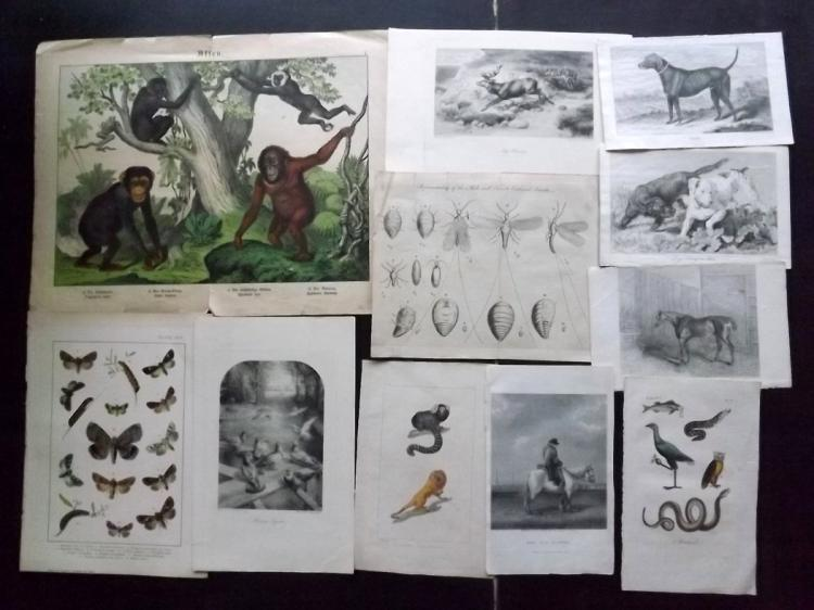 Natural History & Birds C1760-1900 Lot of 30 Prints